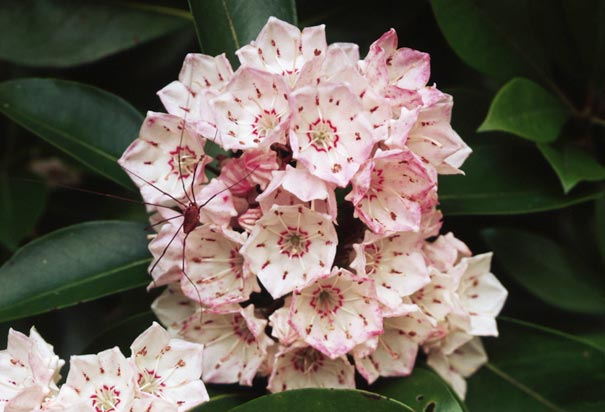 Clusters of Mountain Laurel Blooms