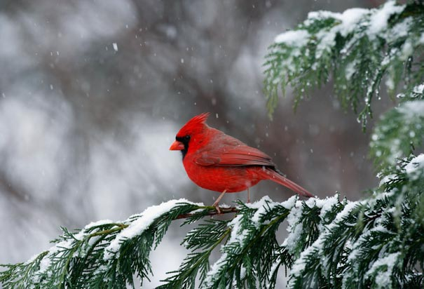Cardinal, State Bird of North Carolina
