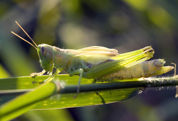 The Grasshopper, a Close Relative of the Extinct Rocky Mountain Locust